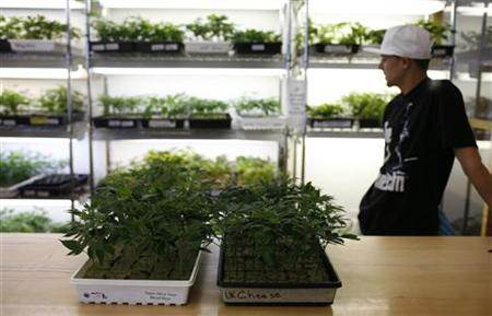 Image: Small marijuana plants for sale at dispensary in Oakland
