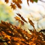 autumn-leafes