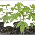 DEA: Marijuana Seizures Decline In 2015-media-1