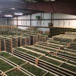 Controversy Erupts Around $10 Million Bust of Legal Marijuana Grow-media-5