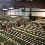 Controversy Erupts Around $10 Million Bust of Legal Marijuana Grow-media-1