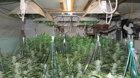 drip irrigation cannabis