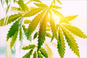 Marijuana Hemp