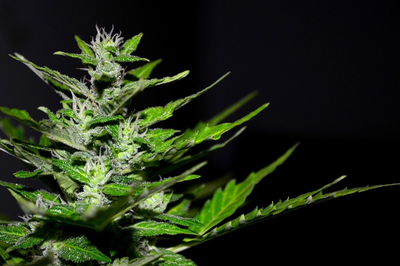 medmj storing weed - 3 Medicinal Uses of Medical Marijuana You Should Know