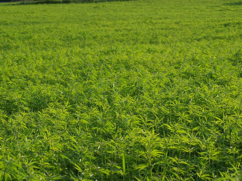 How to Begin Growing Industrial Hemp on Your Farm - How to Begin Growing Industrial Hemp on Your Farm
